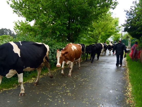Camino cows on the street